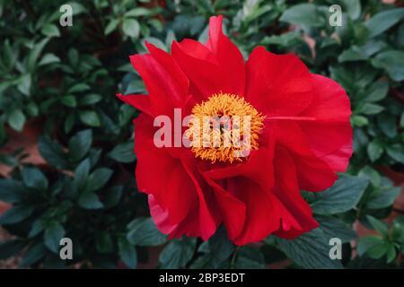 Beautiful fresh scarlet red peony flower in full bloom in the garden.