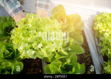 closeup hands of young man farmer checking and holding fresh organic vegetable in hydroponic farm, produce and cultivation green oak lettuce for harve - Stock Photo