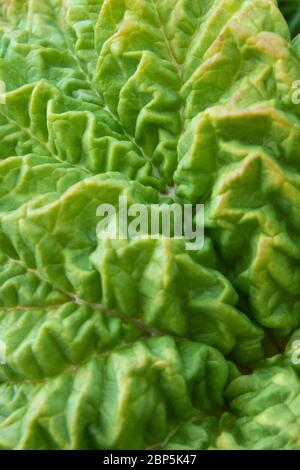 Greeb Rhubarb or Rheum leaf - Stock Photo