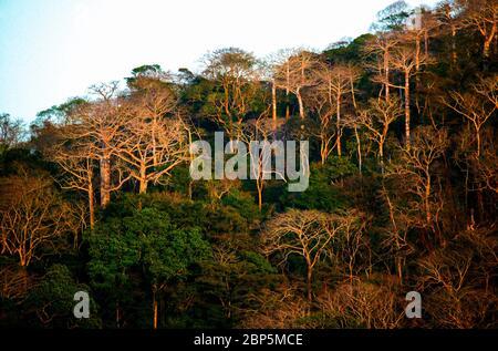 Evening light on large cuipo trees, Cavanillesia platanifolia, in the lush rainforest of Soberania national park, Republic of Panama. - Stock Photo