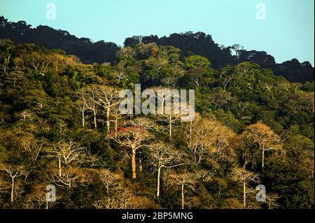 Evening light on large cuipo trees, Cavanillesia platanifolia, in the lush rainforest of Soberania national park, Republic of Panama. The - Stock Photo