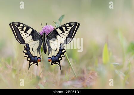The beautiful Old World Swallowtail in the meadow (Papilio machaon) - Stock Photo