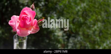 Pink bush rose with drops of water on the petals against the background of the garden - Stock Photo