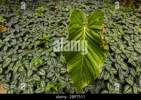 Lush tropical vegetation on the cloudforest floor in La Amistad national park, Chiriqui province, Republic of Panama.