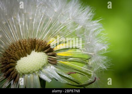 Macro photograph of a dandelion seed head (Taraxacum officinale) - Stock Photo