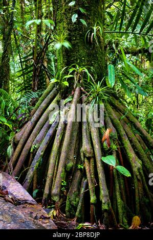 Walking tree in the lush rainforest at Cerro Pirre in the Darien national park, Darien province, Republic of Panama