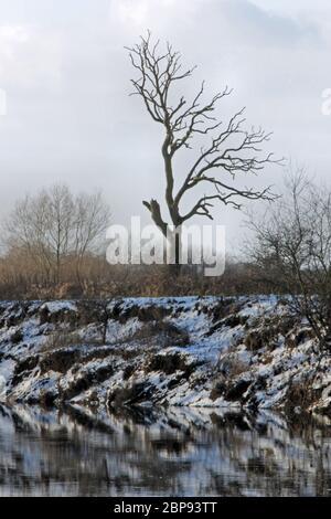 Lone tree in winter on river Dee embankment, Holt, Wrexham - Stock Photo