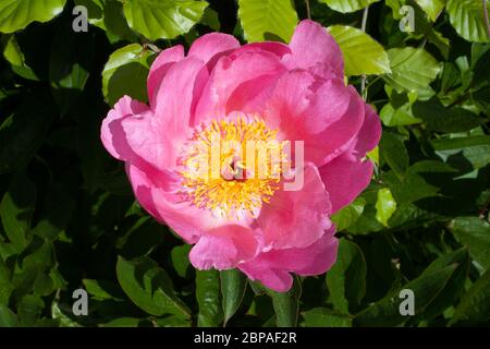 A Common Peony with its petals open