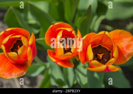 Tulip flowers with green leaf spring background. Orange flowers in garden. Open buds close up