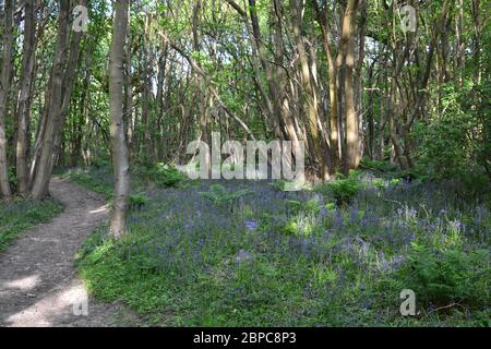 Fading bluebells in Pilots Wood, near Otford and Knockholt, Kent. North Downs - Stock Photo