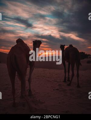 Camel used for desert safari at Jaisalmer Thar desert at sunset with moody sky. India - Stock Photo