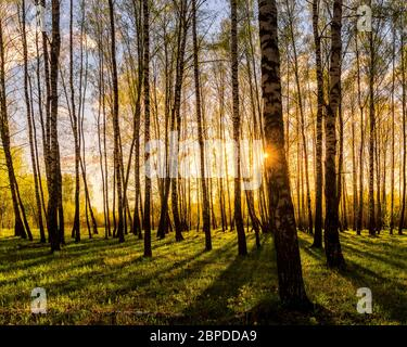 Sunset or dawn in a spring birch forest with bright young foliage glowing in the rays of the sun and shadows from trees. Stock Photo