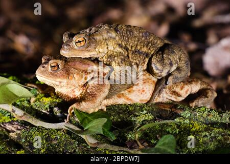 Couple of the common toad (Bufo bufo) in reproductive habits during the breeding season at the end of the winter. - Stock Photo