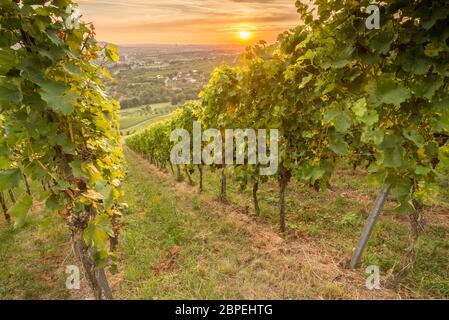 Weinreben und Weintrauben im Weinberg im Sonnenuntergang - Stock Photo