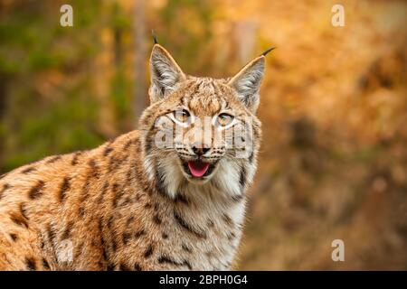 Adult eursian lynx in autmn forest gazing to the camera. Endangered predator in natural environment in evening light with vivid colors. - Stock Photo