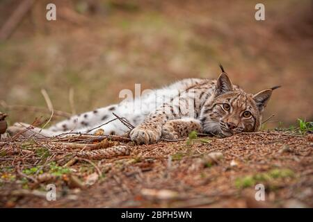 Eursian lynx laying on the ground in autmn forest with blurred background. Endangered mammal predator in natural environment. Wildlife scenery from na - Stock Photo