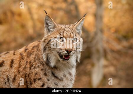 Detailed close-up of adult eursian lynx in autmn forest with blurred background. Endangered mammal predator in natural environment. Wildlife scenery w - Stock Photo