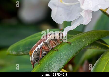 Common cockchafer / Maybug (Melolontha melolontha) on leaf of rhododendron in flower in garden in spring