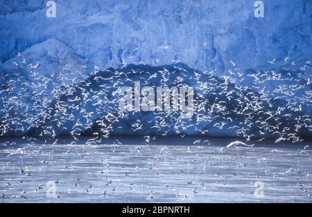 Kittiwakes; Glaciers; Svalbard