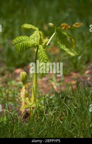 Young sprout of a chestnut tree. Growing trees from seeds. Selective focus.