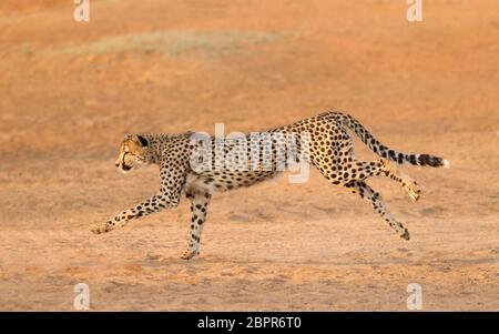 Adult male Cheetah running on sand Kruger Park South Africa - Stock Photo