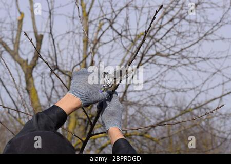 Trimming the tree with a cutter. Spring pruning of fruit trees. - Stock Photo