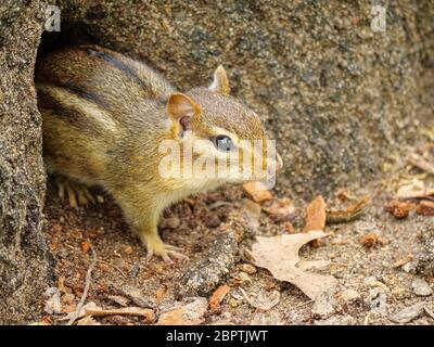 An eastern chipmunk emerges from its hole at the base of a tree. Thatcher Woods Forest Preserve, Cook County, Illinois. - Stock Photo