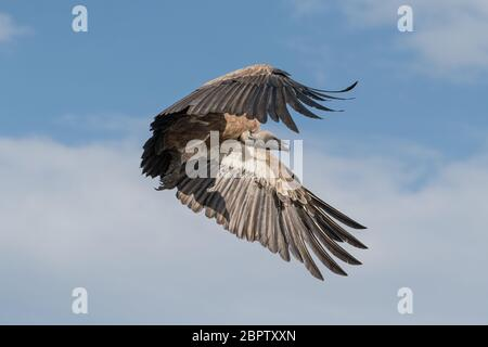 White-backed vulture in flight coming in to land on a dead carcass in the Maasai Mara Reserve in Kenya - Stock Photo