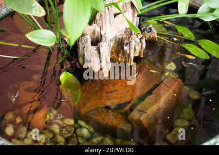 Guppy fishes or millionfish and rainbow fish swimming in water and eating food and lotus plant in fish claypot at small garden in Nonthaburi, Thailand - Stock Photo