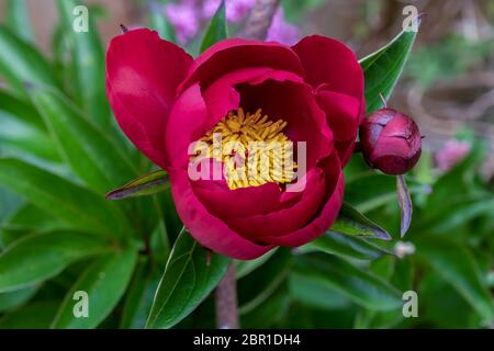 A beautiful peony (paeonia) flower of the variety 'President Lincoln' in a garden in Somerset, UK
