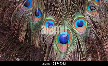 Closeup of peacock tail feathers.