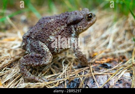 Common or grey toad (Bufo bufo) on a dried grass Mat in a summer forest. - Stock Photo