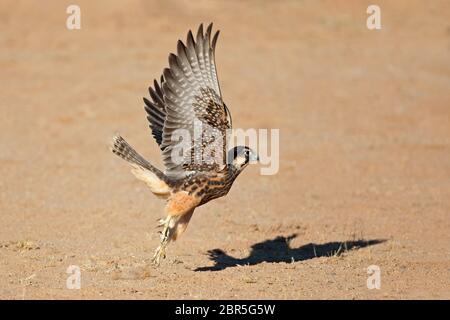 A lanner falcon (Falco biarmicus) in flight, South Africa - Stock Photo