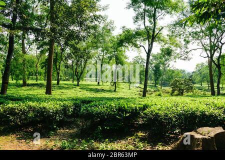 Tea plantation in Asam India. Landscape of the tea plantations. Tea plantation with blue sky in morning. Beautiful tea field. Fresh tea leaves in a te