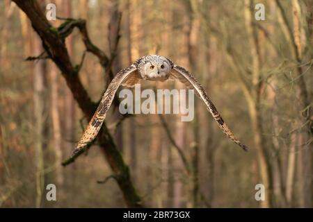 Siberian eagle owl flying in the forest. Bubo bubo sibricus. - Stock Photo