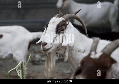 Rented goat with beard hired to graze and remove weeds for sustainable land management and fire risk reduction in the city. Oakland, California - Stock Photo