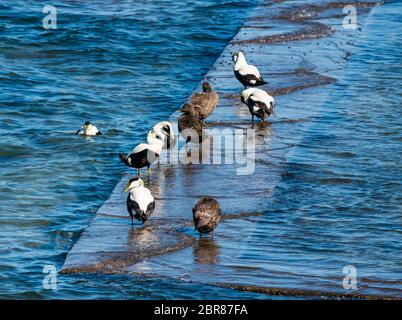Eider ducks, male & female, Somateria mollissima preening on sea ledge in sunshine, North Berwick, Scotland, UK - Stock Photo