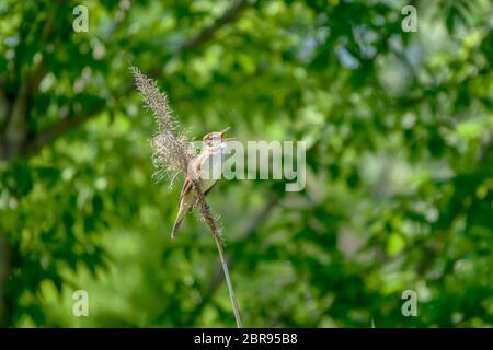 Great-reed warbler, Acrocephalus arundinaceus, single bird - Stock Photo