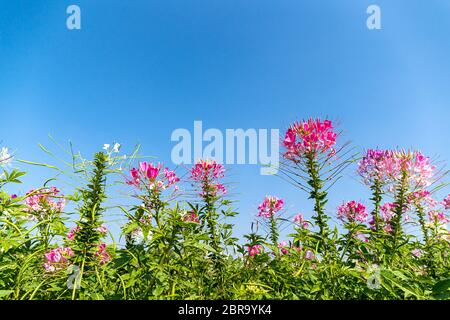 Close up Pink and white spider flower(Cleome hassleriana) in the garden agent blue sky - Stock Photo
