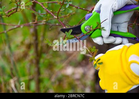 Spring pruning roses in the garden, gardener's hands with secateur - Stock Photo