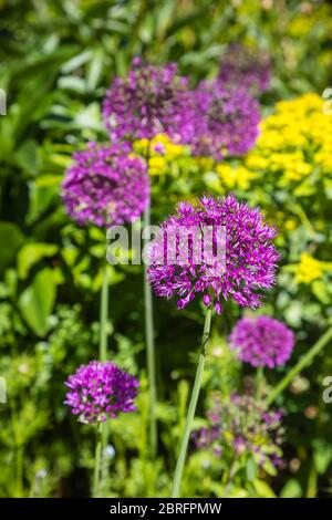 Globular, round heads of purple Allium Hollandicum flowering in a garden in spring in Surrey, south-east England - Stock Photo