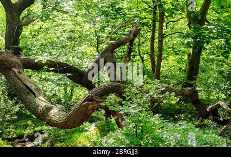 Fallen tree in Stanworth Woods. - Stock Photo