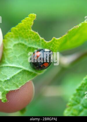 Asian ladybeetle on leaf,  Harmonia axyridis, Harlequin ladybird - Stock Photo