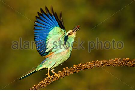 European roller, Coracias garrulus, taking off from dry plant looking upwards in summer. Wild bird in nature with green blurred background. - Stock Photo