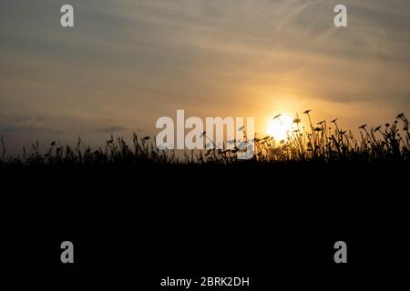 A silhouette of a field of wildflowers against a blurred background of the sun breaking through the clouds on a summer's evening in Norfolk, England - Stock Photo