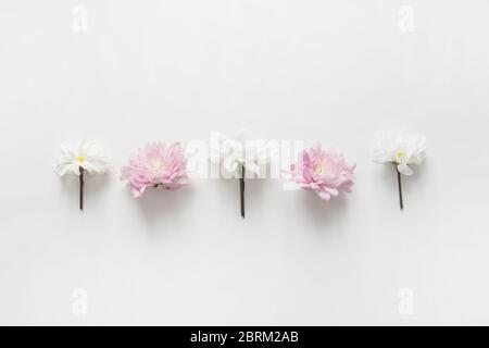 Flowers chrysanthemum row on white background. Flat lay, top view. Spring pastel background. - Stock Photo