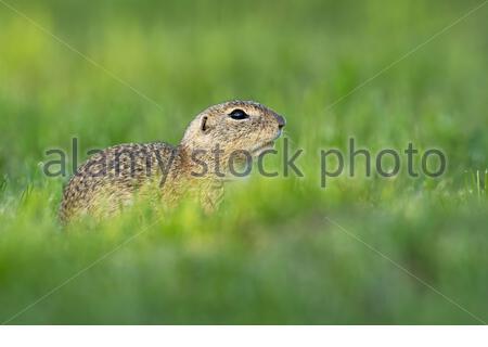 Endangered european ground squirrel, spermophilus citellus, hiding on green field with copy space. Little mammal in calm wilderness - Stock Photo