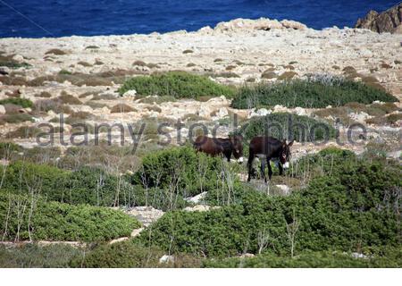 frei lebende Esel am Apostel Andreas Kloster warten auf Futter von Touristen, Dipkarpaz / Rizokarpaso, Türkische RepublikNordzypern - Stock Photo