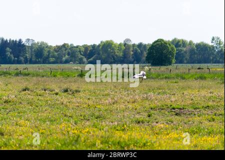 a stork  lands on a field in the sunshine and searches for food for its little ones - Stock Photo