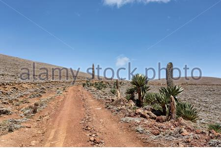 road to top of Ethiopian Bale Mountains National Park. On right side is plant giant lobelia. Wilderness pure nature, sunny day with blue sky. Ethiopia - Stock Photo